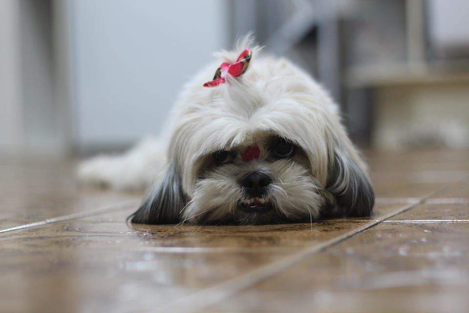 Top 10 facts about Shih Tzu - grooming