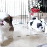 Playful Shih Tzu Puppies