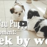 Shih Tzu Puppy Development: