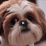 4 you - Funniest Shih Tzu Videos