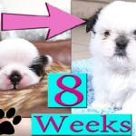 Shih Tzu growth stages