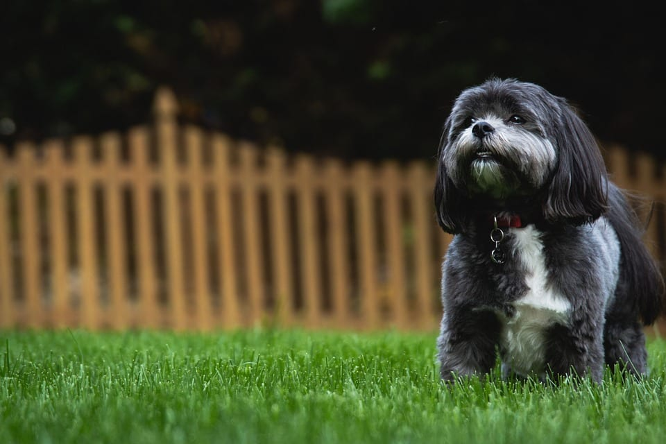 Shih Tzu Puppy Development: