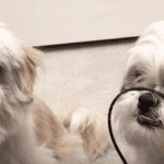 Two Stern Shih Tzus