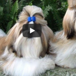 Girly Hair - Shih Tzus 1