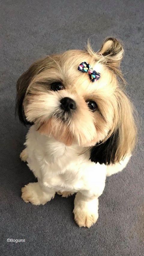Cost of a Shih Tzu Puppy