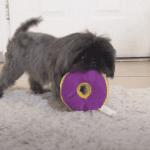 Shih Tzu Chewing