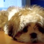 Shih Tzu - Puppy ZaiZai