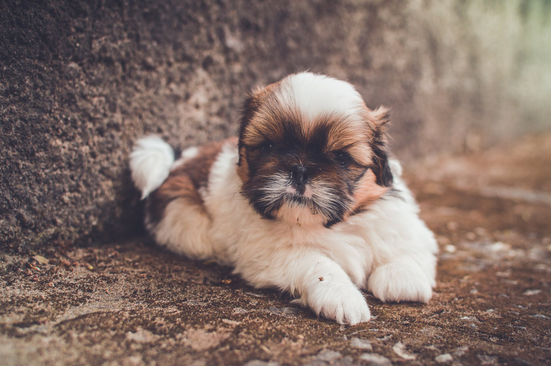 Angry Faced Shih Tzu