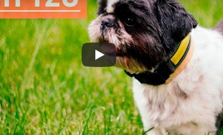 Shih Tzu on Grasses