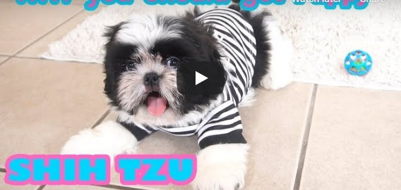 Shih Tzu Cuties