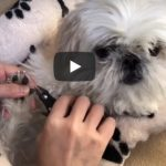 Shih Tzu Pedicure