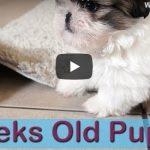 7 Weeks Old Puppies