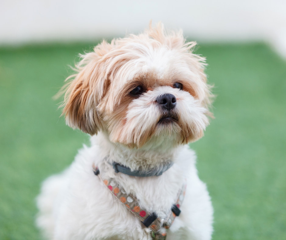 Shih Tzu ideas on Your Wedding Day