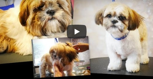 PetGroooming – Shih Tzu Puppy First Time at Grooming Salon