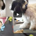Shih Tzu Summer Cut