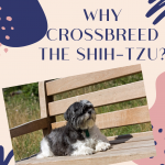 Why Crossbreed the Shih-Tzu?