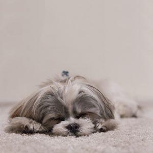 Is My Shih Tzu Sleeping Too Much