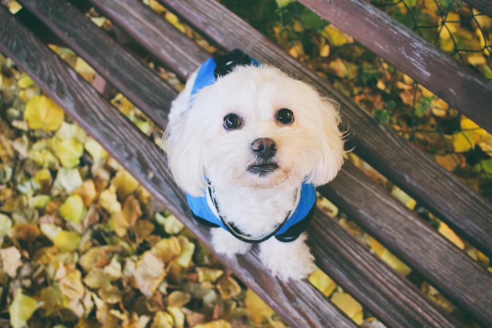 Natural Temperaments of Shih Tzu Compared to Maltese Dogs