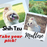 Maltese and shih tzu