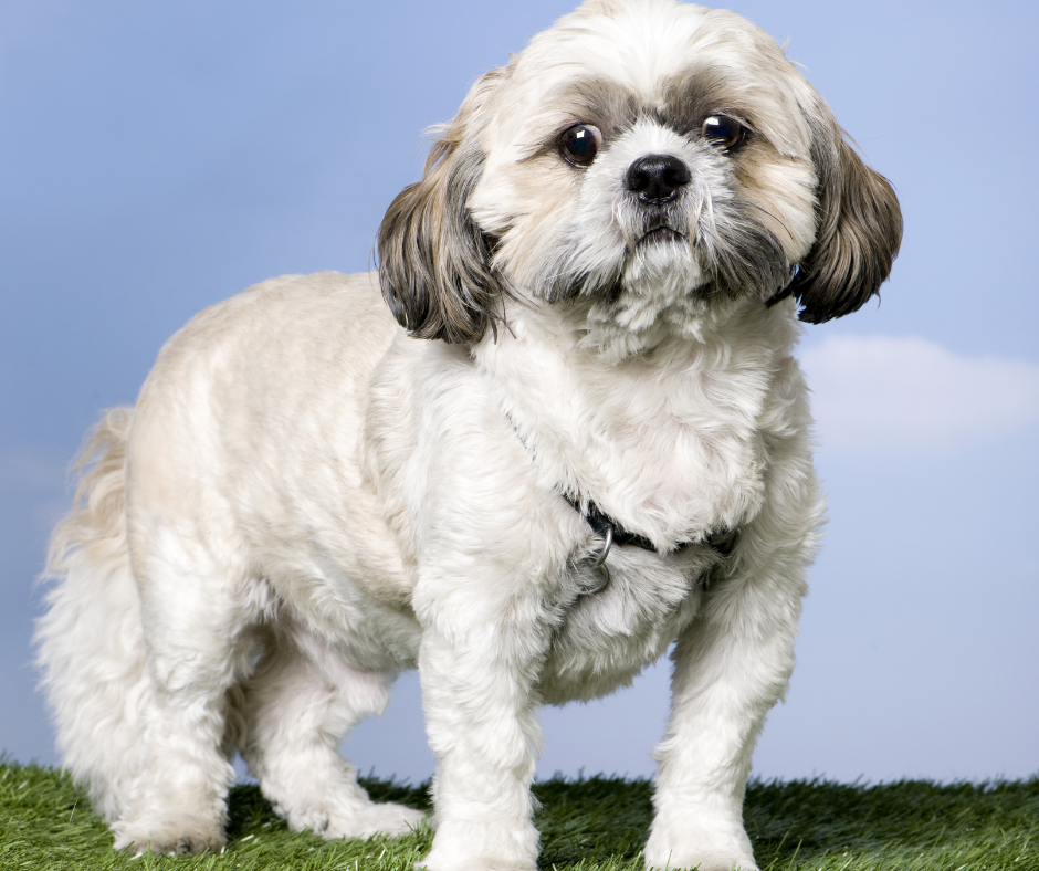 Dental Disease in Shih Tzus