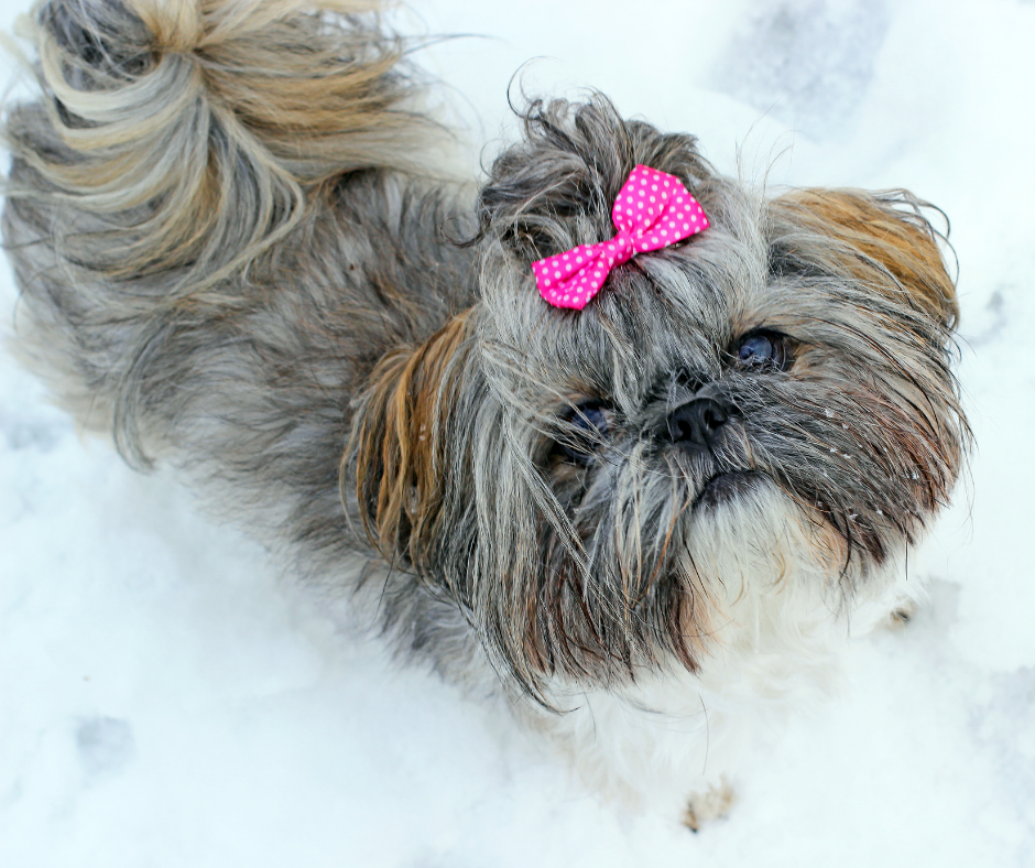 Shih Tzu and Winter