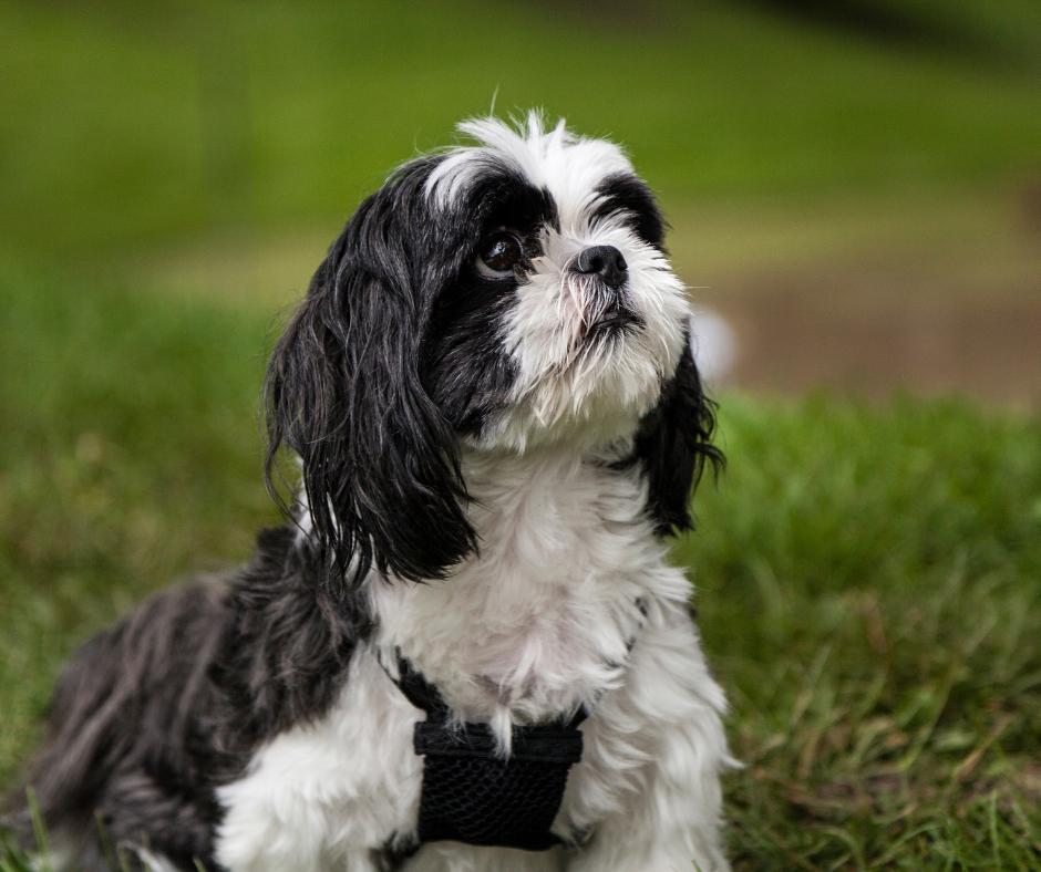 How Do You Train a Stubborn Shih Tzu Dog