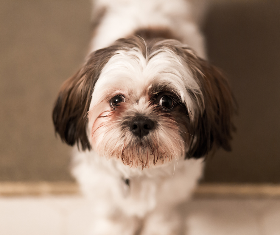 Do Imperial Shih Tzus Have Health Issues?