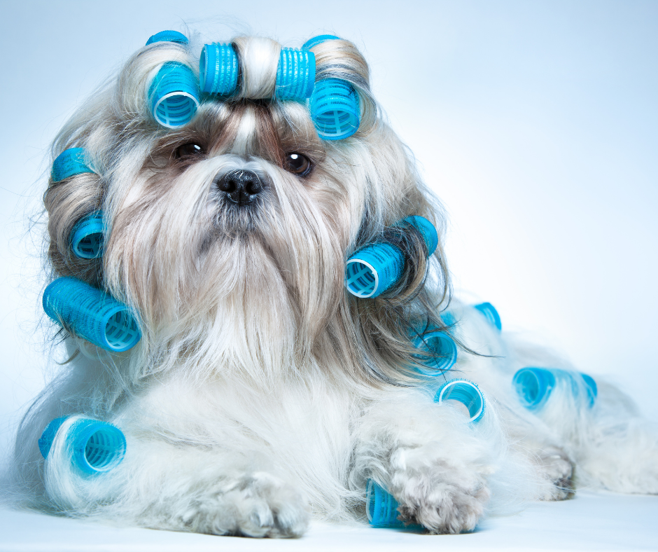 grooming for shih tzus