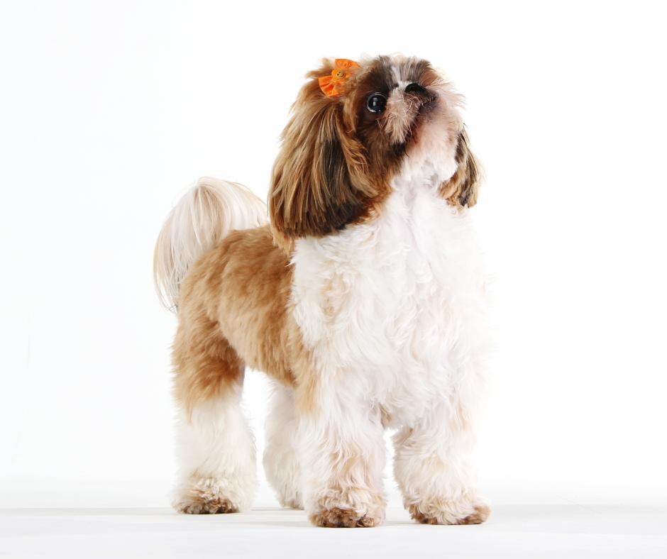 origin of the Shih Tzu Dog
