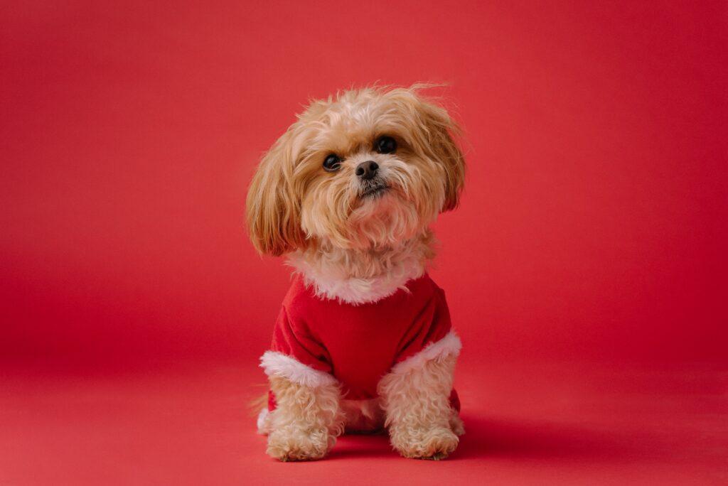 Shih Tzu puppy grows